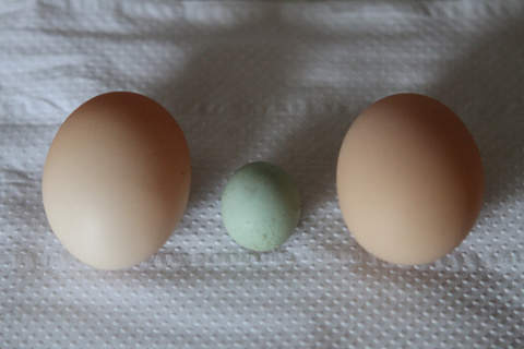 Wind egg laid by my white leghorn