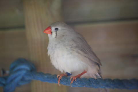 My Zebra Finches