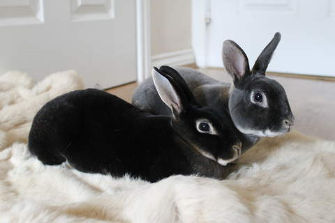 Nova and Ludo our Mini Rex buns