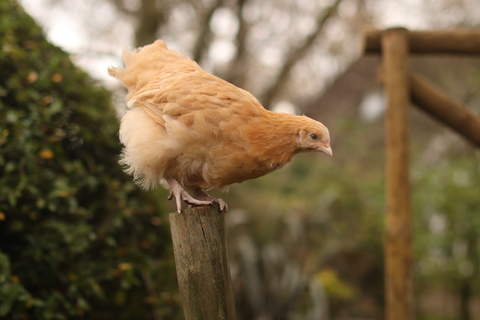 Buffy, the young Buff Orpington