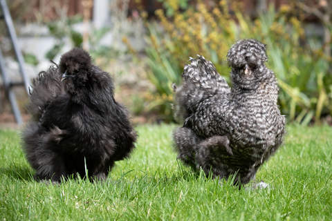 a black silkiie and grey silkie