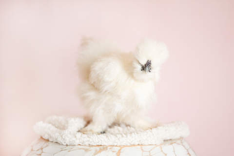 Our Silkie hen Bluebelle