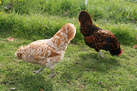Chamois and Gold Spangled Thuringian bantams