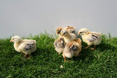 Silver pencilled chicks