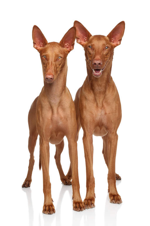 Pharaoh Hound | Dogs | Breed Information | Omlet