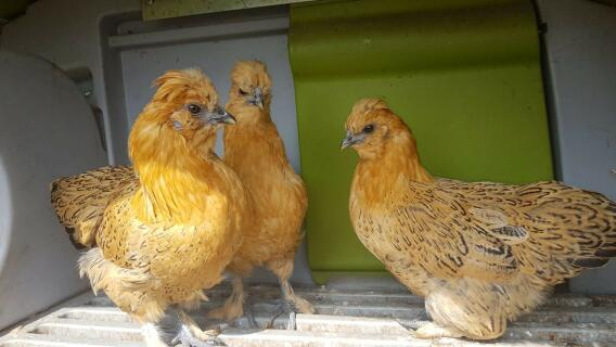 my new 3 chickens