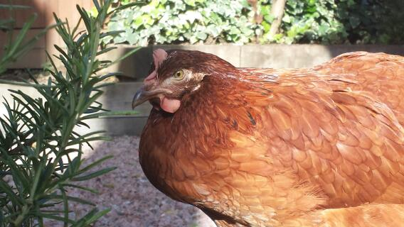 Rosemary meet Hattie Chicken.....