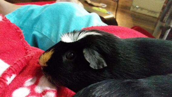 Zuko - a very sweet guinea pig that loves his cuddles