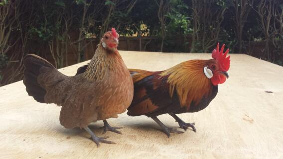 My gold dutch bantams