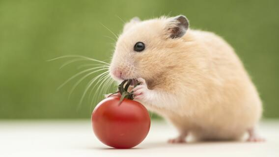 MY LOVELY HAMSTER,LOVES TOMATOES