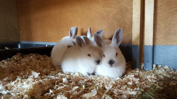 Himalayan rabbits 1 month old