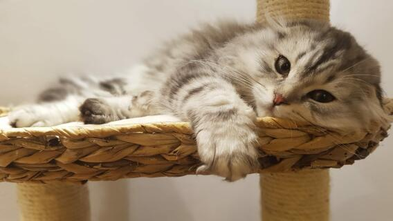 Four month old Scottish fold