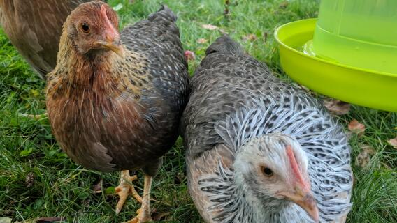 Gold & Silver Welbar Bantams
