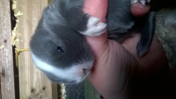 2 weeks old mini lop blue split