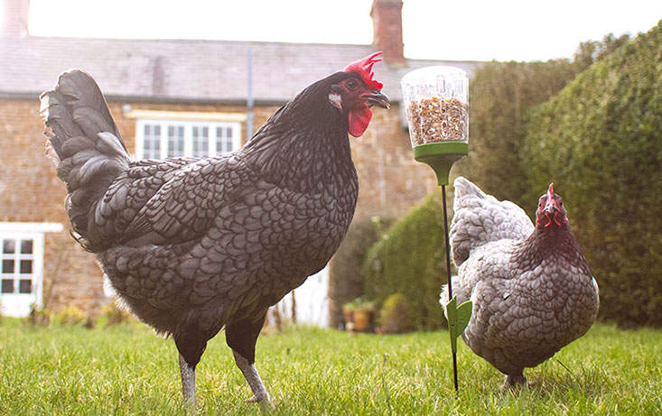 The Poppy coop toy will stimulate your chickens natural foraging instincts