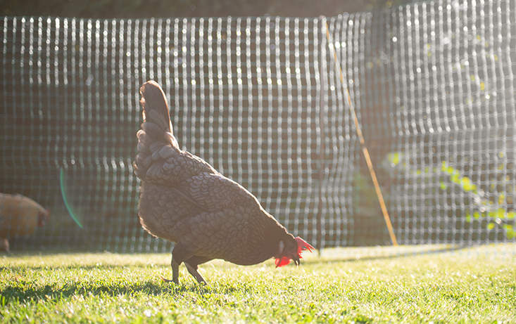 The fencing is ideal for keeping your chickens within a certain area of your garden