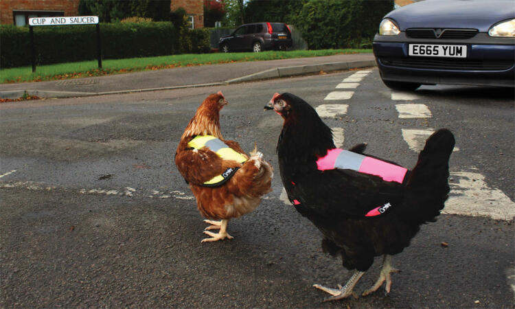 Make sure your hens are easy to spot with a High-Vis Chicken Jacket!