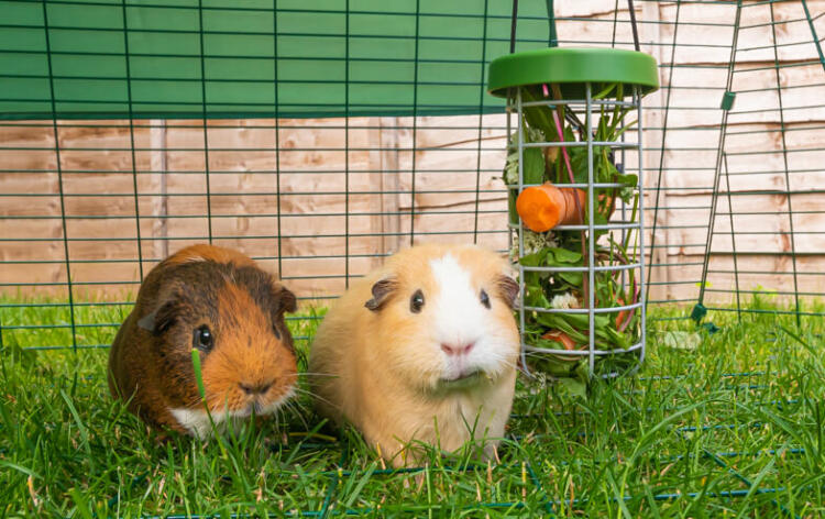 The Caddi is the ideal way to feed fresh fruit and vegetables to your guinea pigs. It keeps food off the ground which improves cleanliness