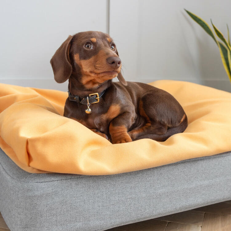 Winston the Dachshund loves his small Topology dog bed with a super comfy beanbag topper.