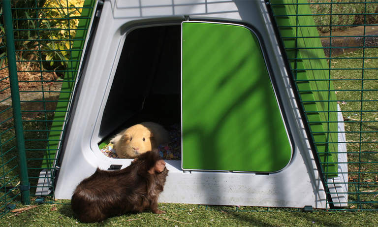 A pair of guinea pigs enjoying their Eglu Go Hutch