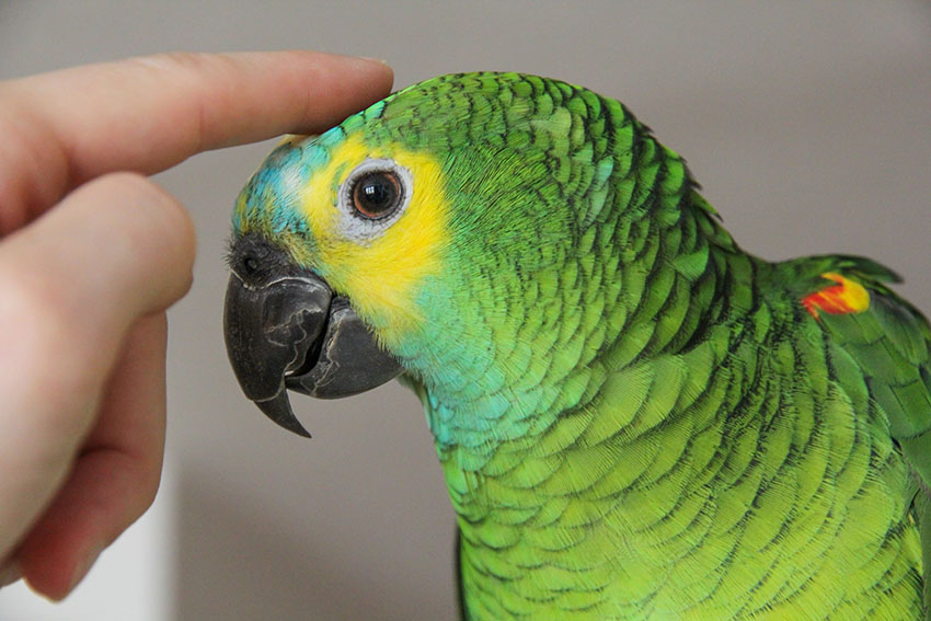 Blue-fronted Amazon tame