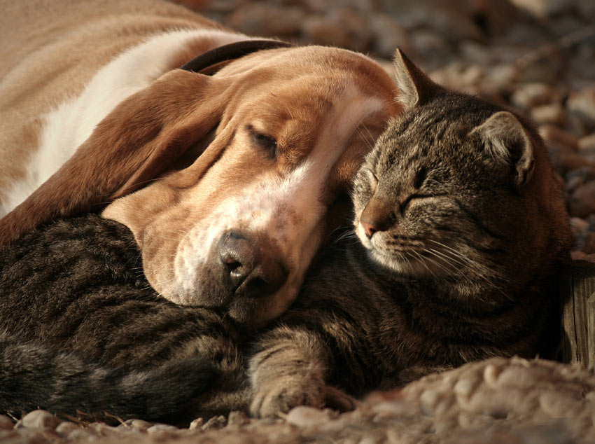 A Basset Hound resting its head on a tabby cat