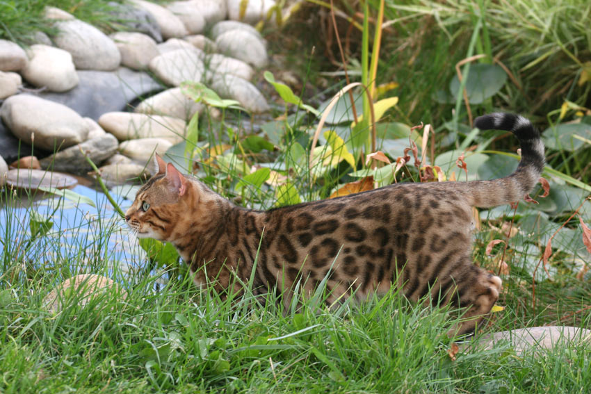 A Bengal Cat with an incredible rosetted coat pattern