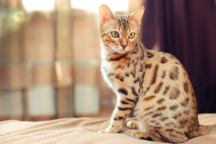 A Bengal Cat with incredible markings