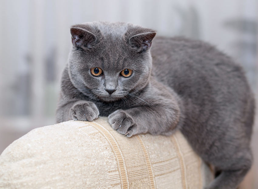 A Pedigree British Shorthair Cat relaxing on the arm of the sofa