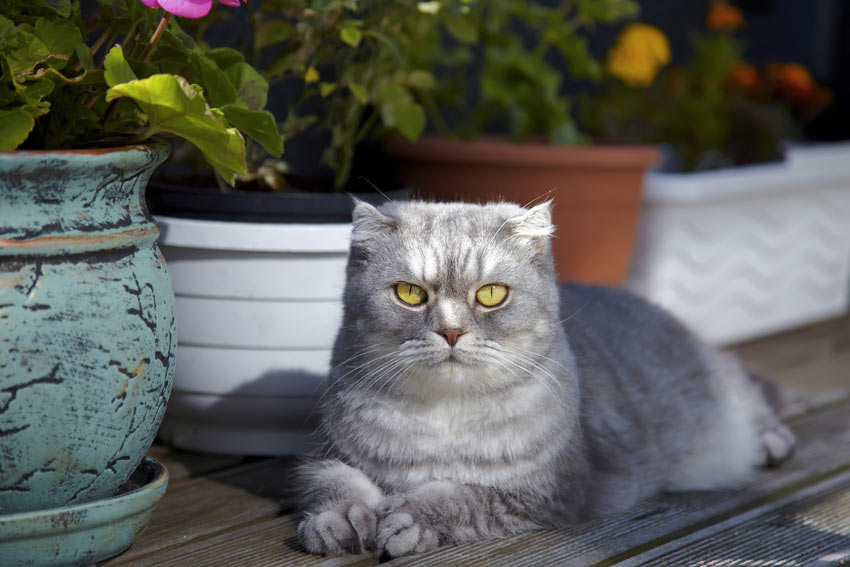 A Scottish Fold Cat who thrives off attention