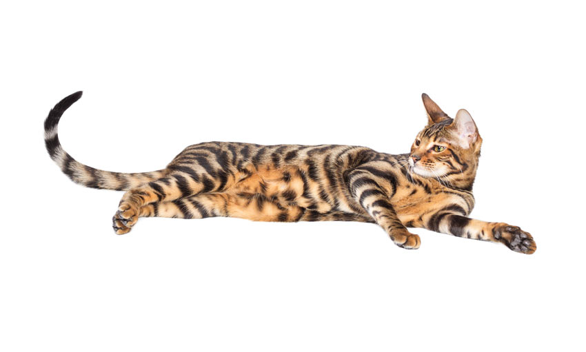 A Toyger cat with tiger like markings