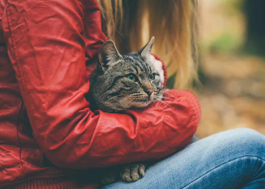 A beautiful adult tabby cat being held by its owner