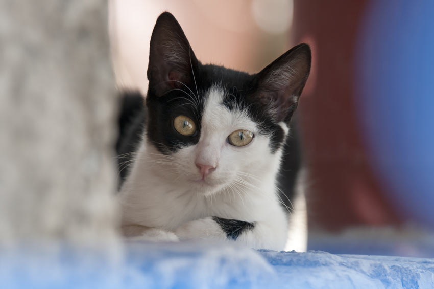 A beautiful black and white bicolour cat