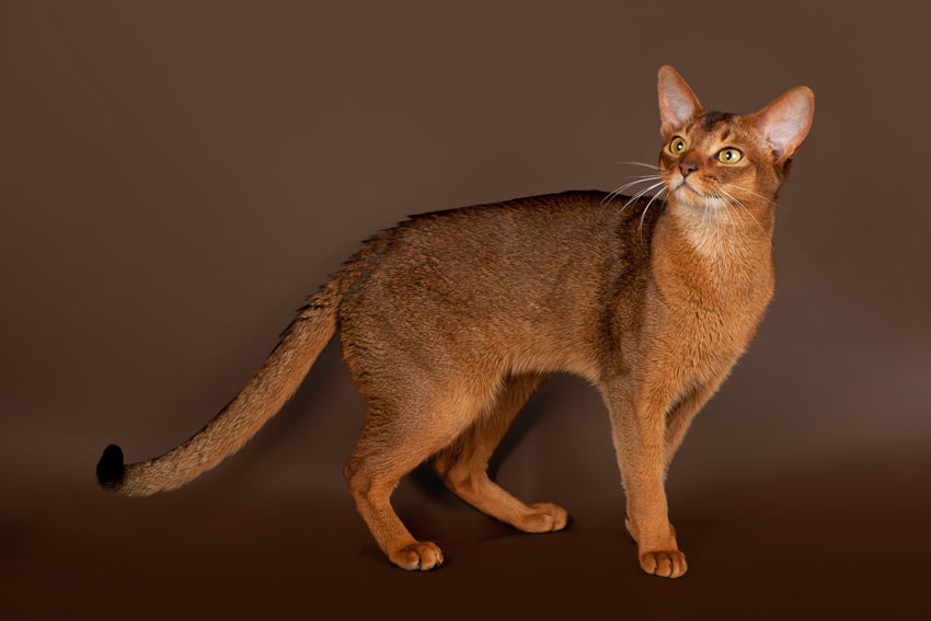 A beautiful brown Abyssinian Cat with short hair