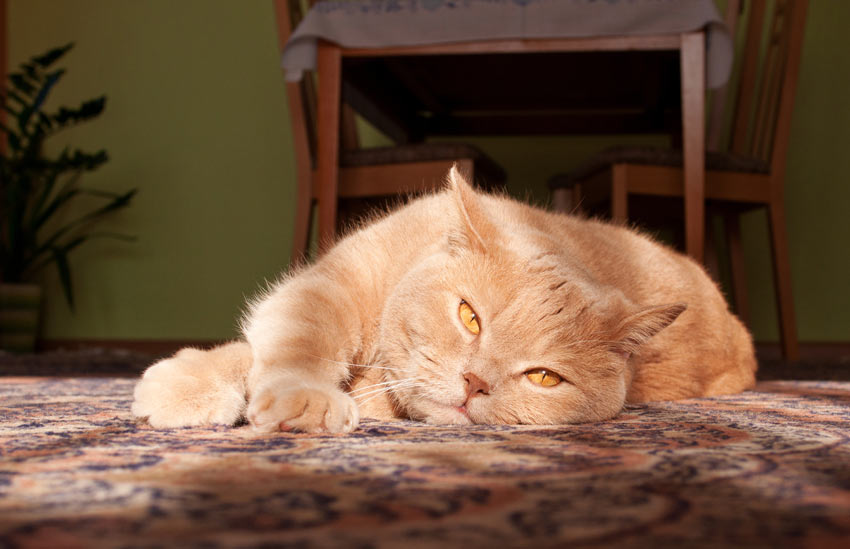 A beautiful ginger British Shorthair tomcat lying on the carpet indoors