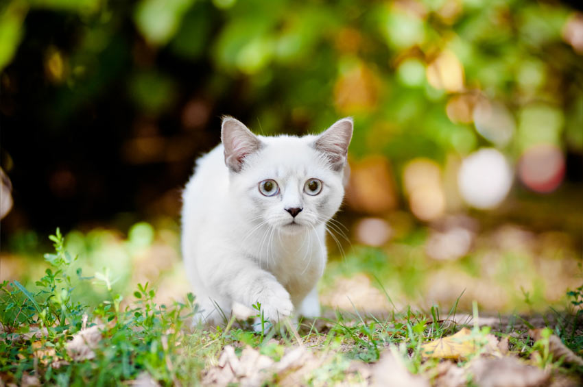 A beautiful white Munchkin Cat with incredibly short legs