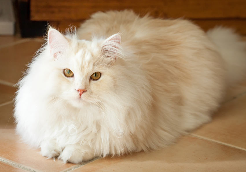 A beautiful white Ragdoll Cat with long hair