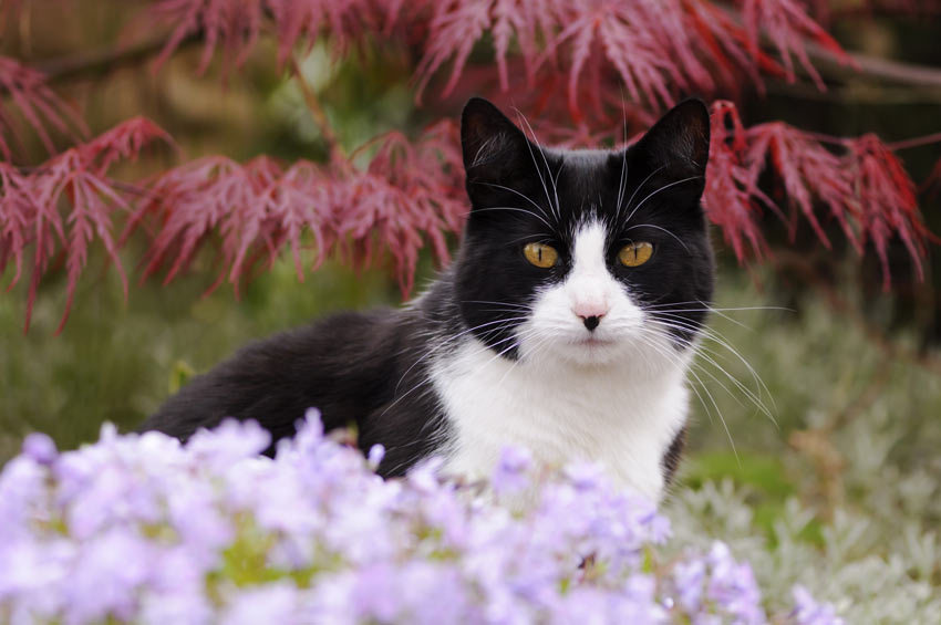 A black and white bicolour moggy cat