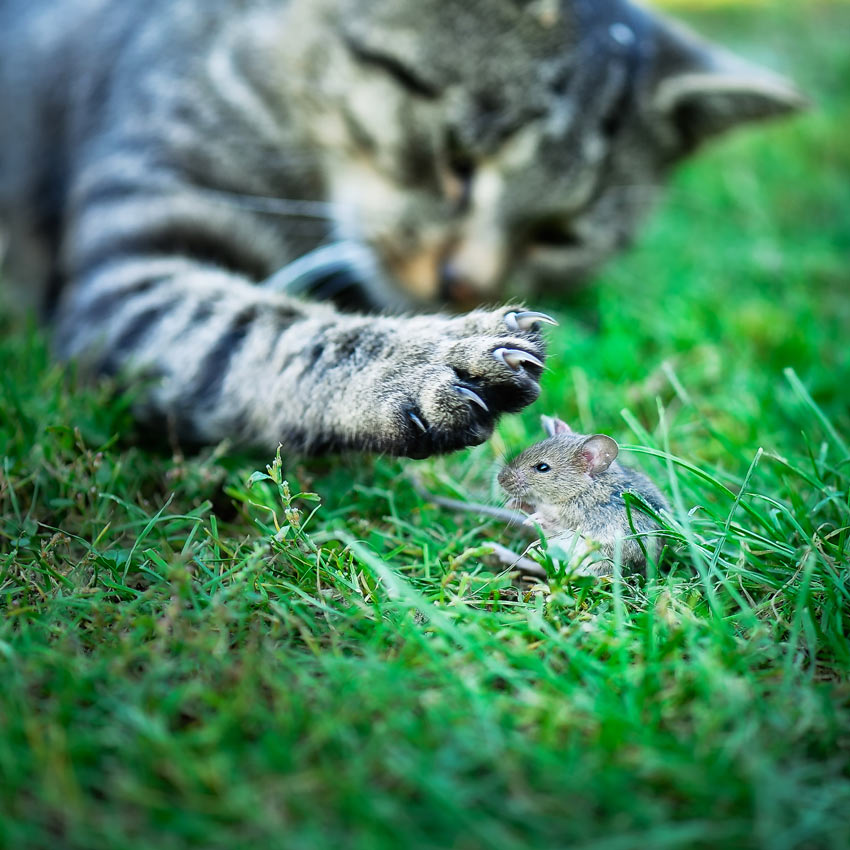 A cat hunting a mouse outside in the grass