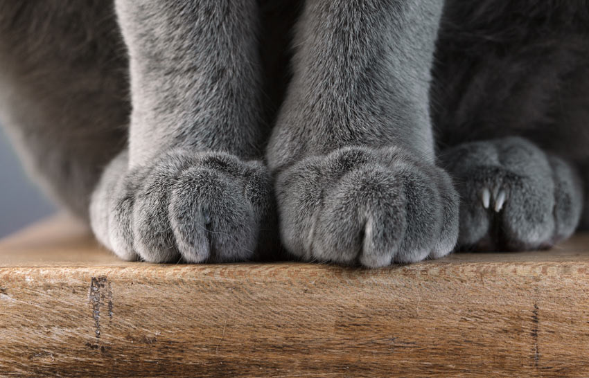 A close up of a British Shorthair cat's great big paws