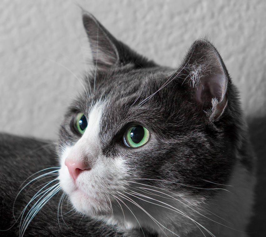 A close up of a grey and white cats long whiskers