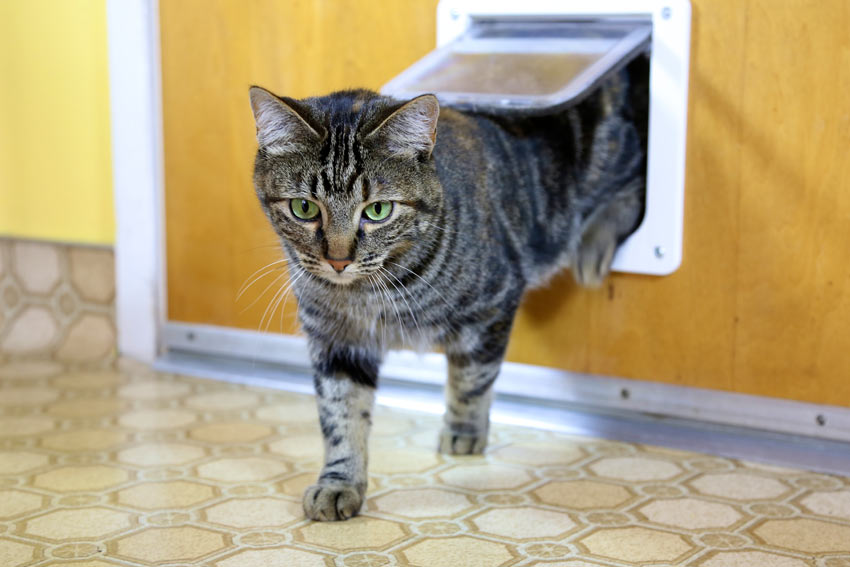 A curious tabby cat using her cat flap