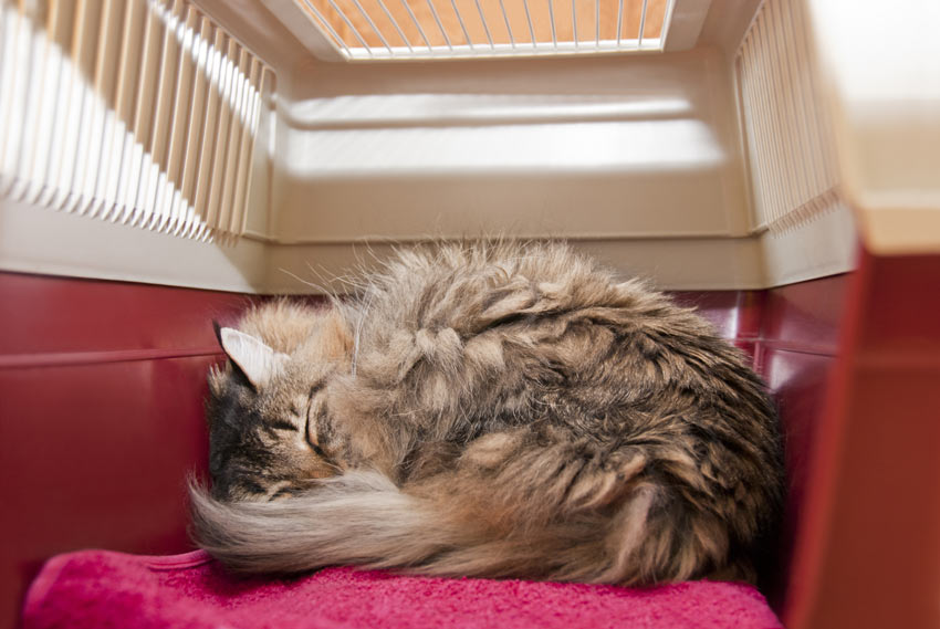 A cute cat curled up sleeping in a travel box ready to move house