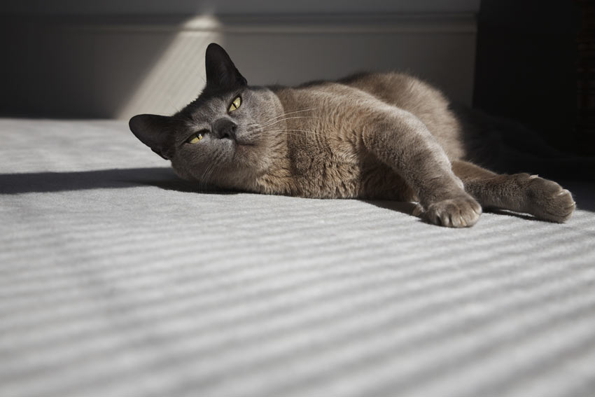 A friendly Burmese cat who loves to curl up on the sofa