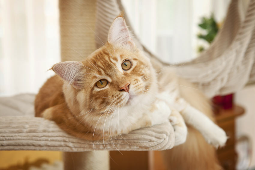 A ginger and white cat lying down on a cat tree