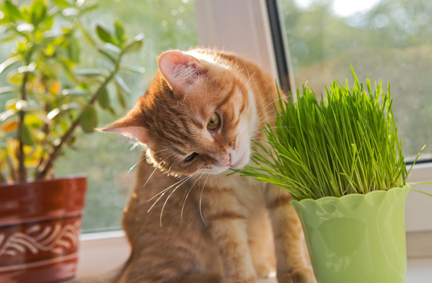 A ginger and white cat smelling a fresh plant of catnip