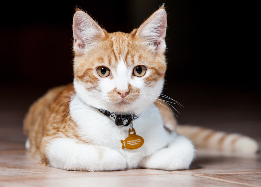 A ginger and white cat wearing a collar and tag