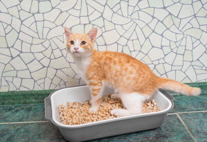 A ginger and white kitten learning how to use a litter tray