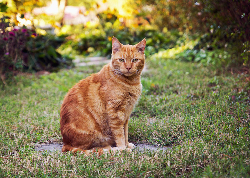 A ginger cat sitting in outdoors in the garden ready to explore