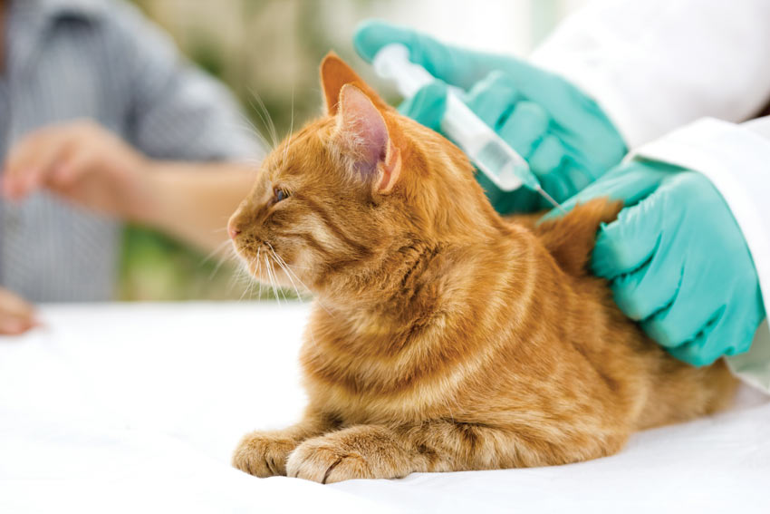 A ginger tabby cat having a vaccination